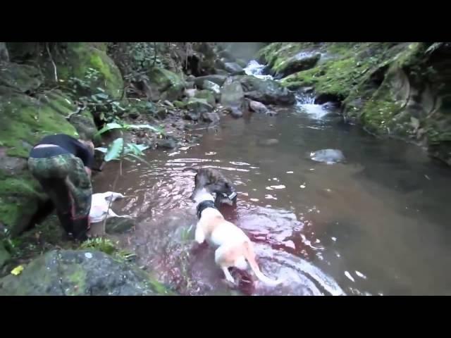 ОХОТА на кабана вместе с собаками A Huge Wild Boar Kill Shot with heavy risk for the hound dogs Hunting
