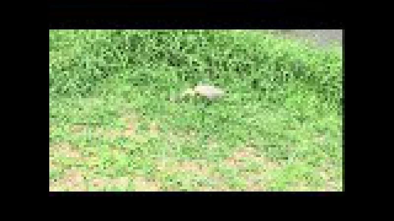 Maria-faceira: Syrigma sibilatrix. Rio Paraibuna, JF, MG, Brasil. IMG_7424. 22,7 MB. 11h46. 05out17