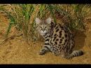 Животные мира Элитная команда Лев Панголин Трубкозуб Дикообраз Цевета Генета Сервал Леопард Охотники