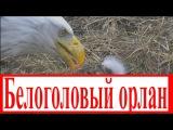 2. Крупнейший хищник планеты / Большой Белоголовый орлан / 2