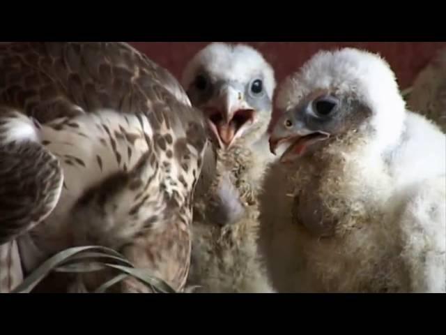 Разведение хищных птиц. Охота с помощью хищных птиц на Руси.