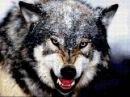 Волчья стая. Жизнь с волками. Документальный фильм.