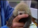 Красная панда по имени Фарли