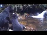 Очковая медведица хочет перевести детеныша через маленькую реку, но тот пугается и убегает