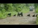 Самец гориллы проводит семью через дорогу