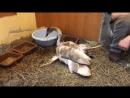 Омск Раненого лебедя привезли на реабилитацию в Птичью гавань