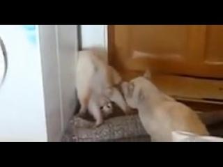 неадекватная поза кота при защите