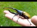 БЛОГ 5 - Домашние жуки Coleoptera Жук-Геркулес - самый большой жук