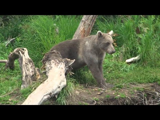 Медведи Курильского Озера
