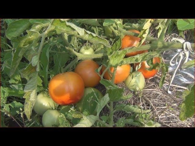 Видео о. Как вырастить такой урожай ПоМидоР . Выращивали через ЧереНкование томатов КлоНирование