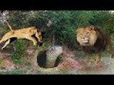 Lion vs Snake Pyhon