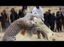 Best trained ► Discipline dogs Huấn luyện chó đẳng cấp dog vs tiger vs hyenas