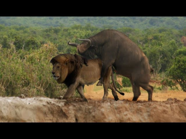 Lion vs trâu rừng vs sư tử vs eagle | animals attack on camera 2017