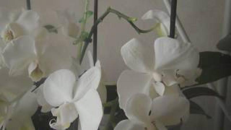 Как получить детку орхидеи(фаленопсис)
