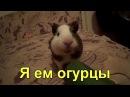 Морская свинка - я ем огурцы