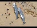 29 кашалотов выбросило на берег Северного моря Что нашли в желудках