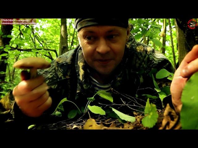 Грабовик - синеющий двойник подберезовика, отличный съедобный гриб ГРАБОВИК Leccin...