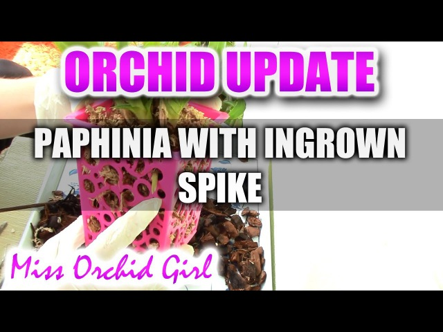Ingrown Paphinia Orchid flower spike - Emergency repot