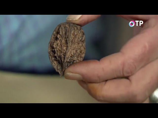 Выращиваем маньчжурский орех