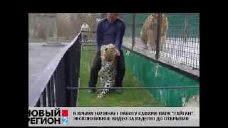 парк львов Тайган Водворение амурского леопарда в клетку