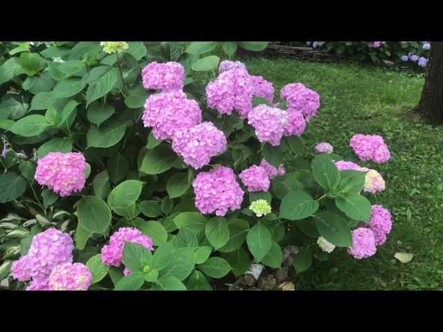 Крупнолистная гортензия в средней полосе уход для хорошего цветения