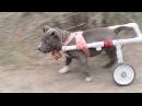 Смешные собаки Приколы с собаками Собаки породы питбуль
