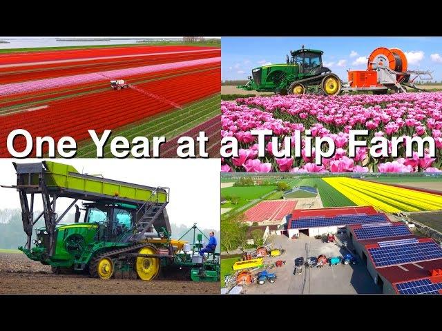 Технология возделывания тюльпанов в Голландии