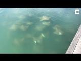 Около сотни скатов проплывает у стоянки яхт в Австралии