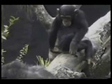 Macaco caindo