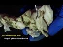 средний мозг mesencephalon