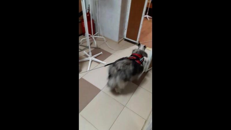 Собака после удаления менингиомы головного мозга 13 01 2017