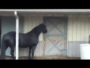 Для этой лошади, в конюшне не существует засовов. самое умное животное