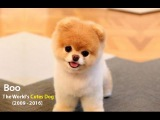 Boo - The World's Cutest Dog (Compilation 2009 - 2016)