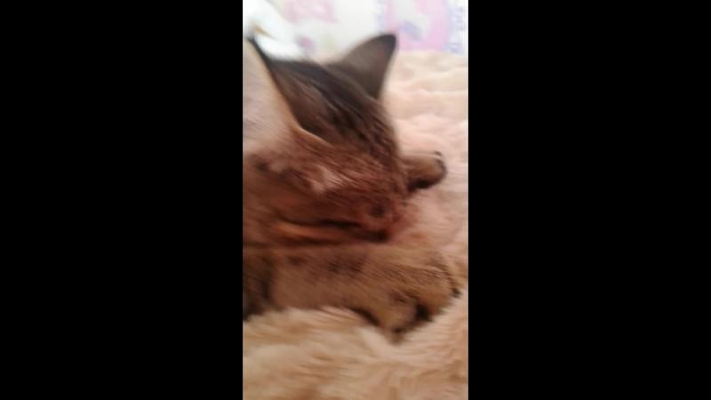 мой кот сасёт одеяло