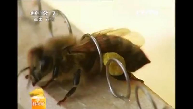 Сбор жёлтых пыльцевых мешочков обножка сырая перга Хуа Фэнь Цю цветок порошок мяч с задних лапок медоносных пчёл Пчел