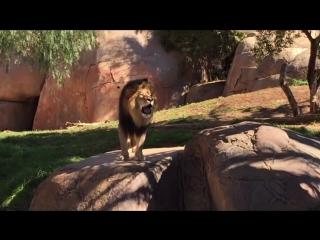Львиный рёв