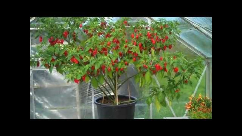 How many chillies on this Dorset Naga