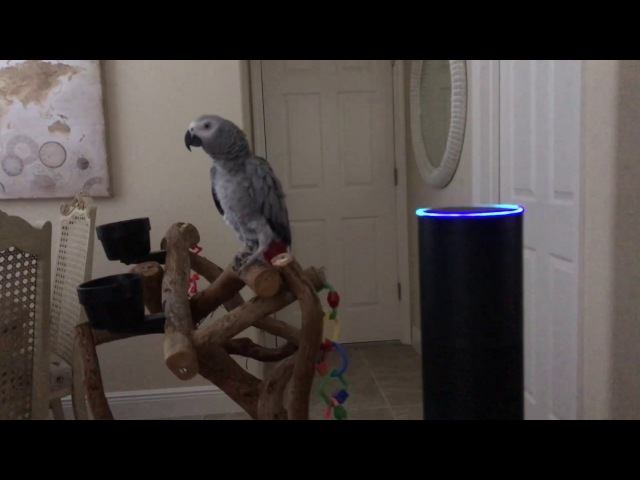 Alexa. All lights on. Petra the African Grey controls the Amazon Echo turns lights on.