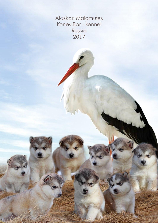 Щенки аляскинского маламута Фото (Коломна) собаки купить щенка животные