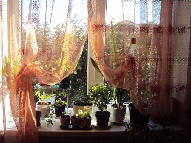 Комнатные цветы, сентябрь-1. Сансевиерия, Пеперомия, Сингониум, Кофейное Дерево, ...