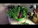 30 ВЕРШКИ и КОРЕШКИ ботва моркови и свеклы