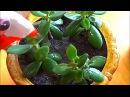 Отличное удобрение для комнатных растений Луковая шелуха