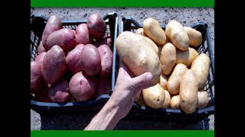 Секреты выращивания крупного картофеля от высадки до сбора урожая Ведро картоф ...