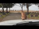 Кот на крутой тачке