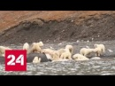На Чукотке 200 белых медведей пришли объесть тушу выброшенного на берег кита - Рос...