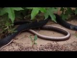Съеденная змея выбралась из внутренностей другой змеи