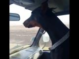 Собака реагирует на дпс