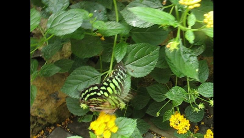 Парусник агамемнон Graphium agamemnon Linnaeus, 1758 . Сад живых бабочек, Севастополь, Лукоморье 2007 г.