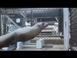 Темп передачи музыки Морской Львицей Ронан ...