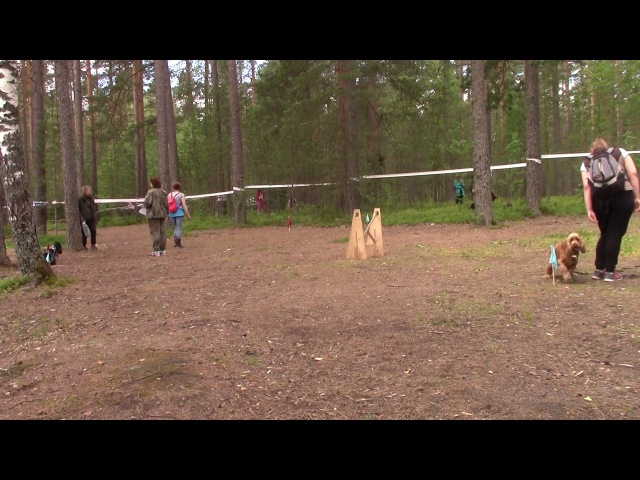 Спаниель послушание Прогресс Лесные игры 2017 15.07.17